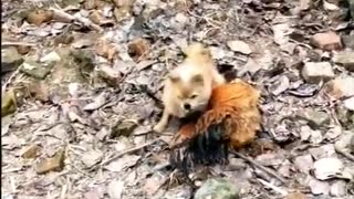 Rooster VS Dog Fights - Funny Animal Fight Videos