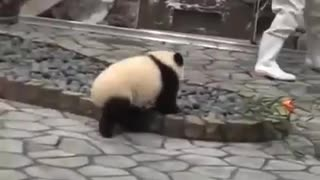 A Cute baby panda trying to play and get attention from the worker.