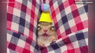 Conheça Cimaco, o esquilo japonês que adora dormir