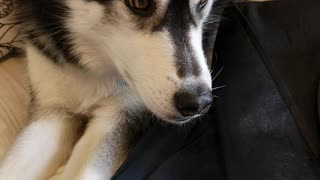 Husky loves her head scratched