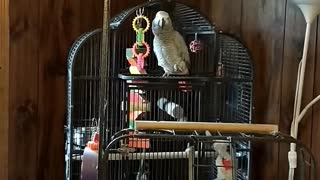 Parrot Says Trump and Waves Hiiii
