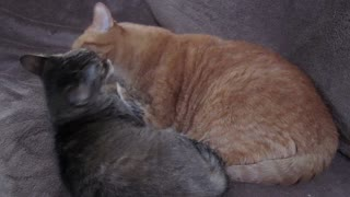 Brother and sister cats grooming each other
