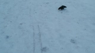 The beautiful pigeon decided to take a walk.