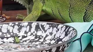 Lizard Licks Plate Clean
