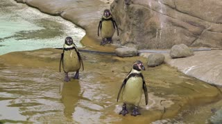 cute penguins walking and swimming