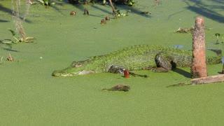 American Alligator basking in a swamp