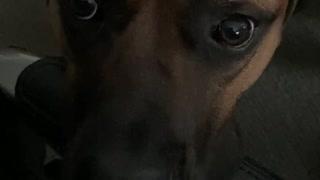 My dog, Moose a Cane Corso likes to talk.