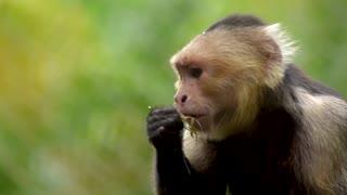 Monkey coco