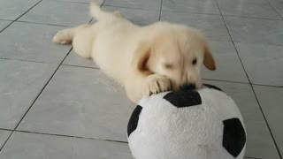 Golden Retrievier puppy playing with ball.
