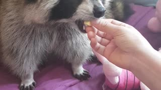 Mom cuts and feeds Raccoon a boiled egg.