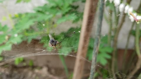 How a spider got a fly