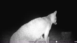 When A Fox Eats Seeds On a Stump!