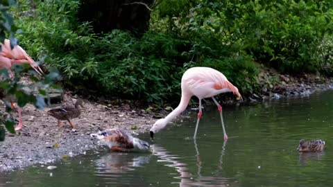 Flamingo the bright pink color of flamingos comes