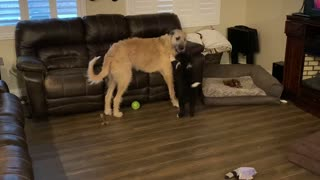 My Wolfhound playing with our new puppy!