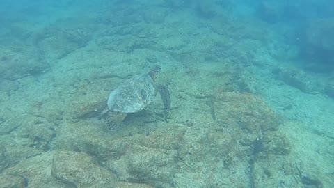 Sea Turtle Swimming at Electric Beach, Oahu, Hawaii.