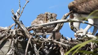 Osprey Family with Close Up of Dominant Baby