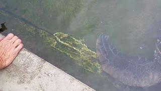 Feeding A Beautiful Sea turtle