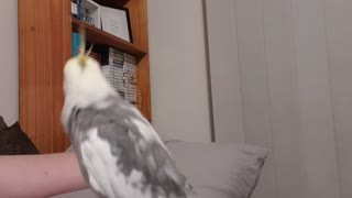 Cockatiel Carries a Tune