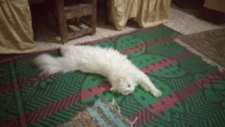 Adorable White Male Cat Relaxing On The Ground