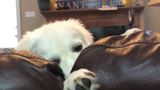 Impatient Puppy Misses her Sister