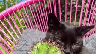 Crazy cat licks and cuddles with cactus