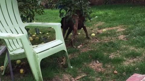 Boxer Dog Picking Apples