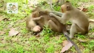 Young monkey making mating funny