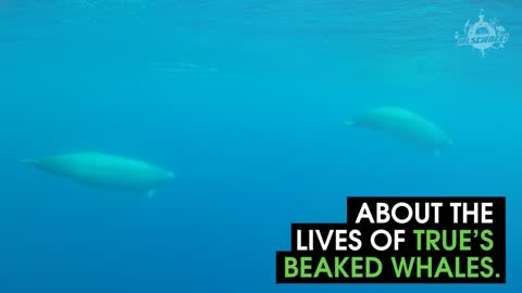 This Is The First Ever Footage Of Beaked Whales