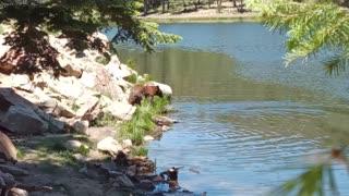 A big Bear fishing in the lake