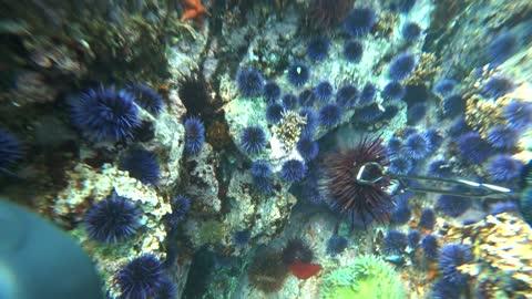 Spearfishing Big Sur California - Big Cabezon - Perch - Uni - Greenlings