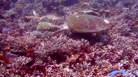 Hawksbill sea turtle in the Sea 5 - man & camera
