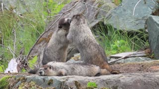Triplets Marmots Fighting Over While Mother Watch