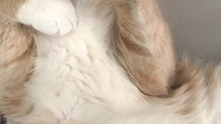 Close-up Of A Cream Beige Furred Cat Sleeping On Its BACK#