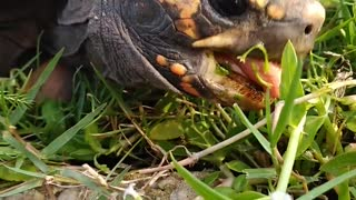 Tortoise eating in the pasture 5 beautiful tortoise tortoise and turtle