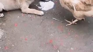 Dog for chicken fight