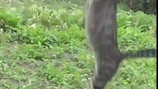 AMAZING JUMP CAT