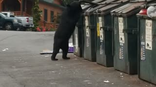 Black Bear Easily Opens Dumpster