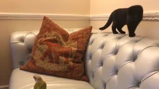 Kitten terrified of tiny harmless parrot
