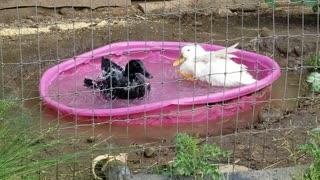 Cute fun animals ducks playing in water