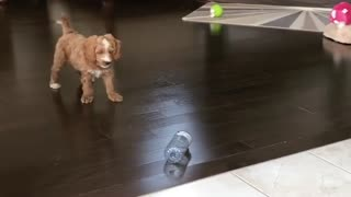Growling puppy takes on his water bottle nemesis