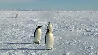 Cute penguins acting silly around humans in Antarctica