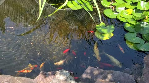 Large Koi Pond in Maryland