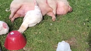 Unlikely best friends: Turkey snuggles up to sleeping piggy