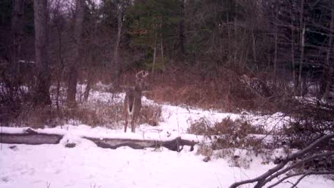 7 point buck tracking doe and doe running by in the distance