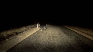Near miss with cow caught on dash cam