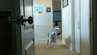 Hungry husky alarm clock