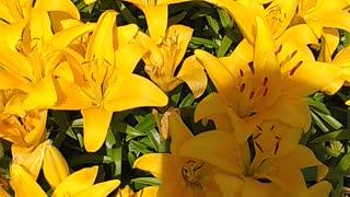 My Beautiful Yellow Lily Flowers 💐