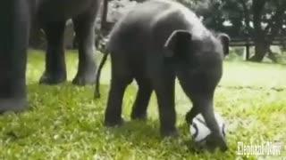 An Elephant Smoll plays football.
