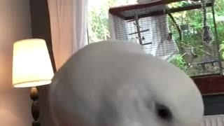 Budgie Eating a Carrot