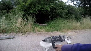 Siberian Husky Protecting Owner Caught On Video | Guard Dog Test In Action